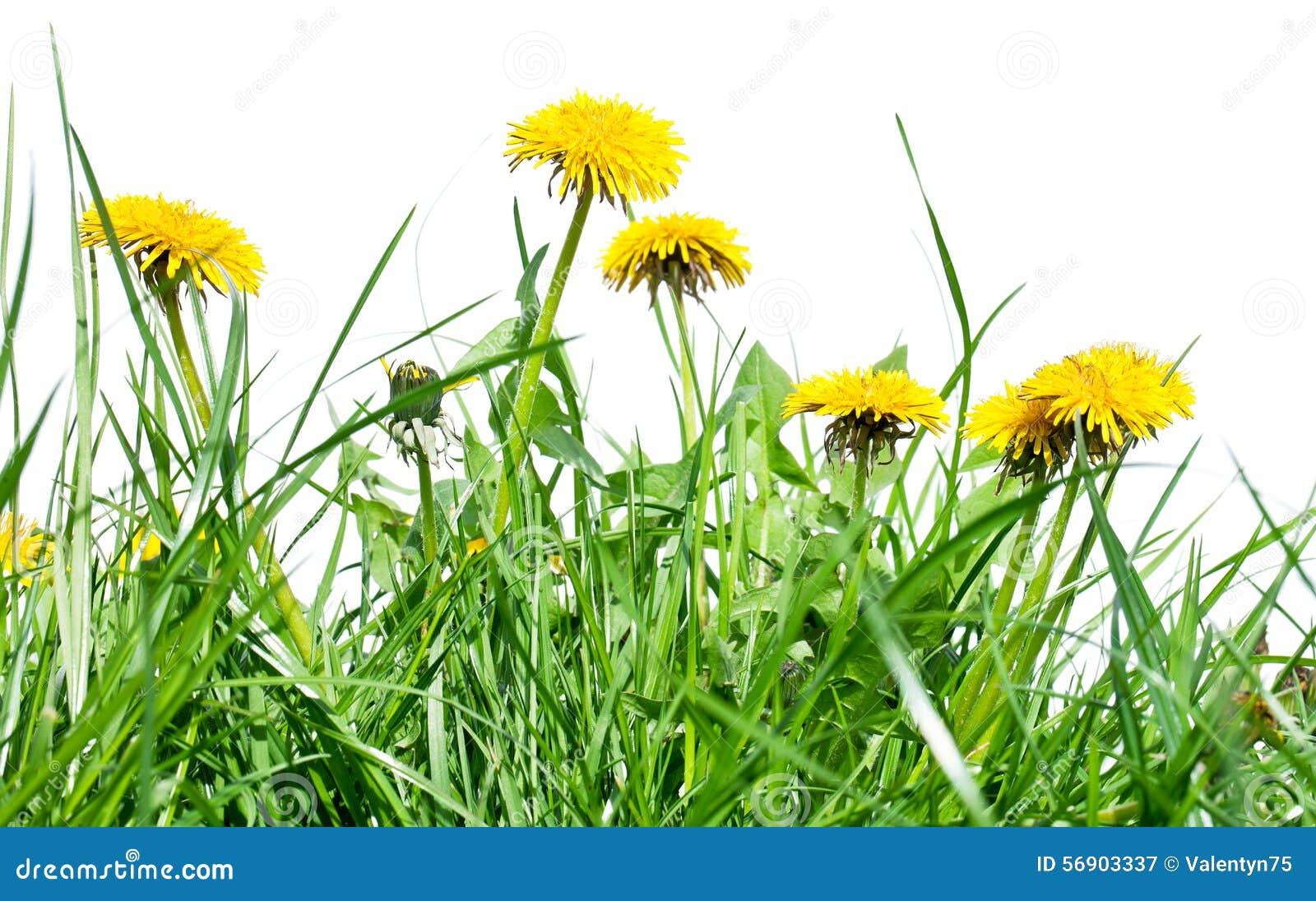 Πικραλίδα μεταξύ των λουλουδιών