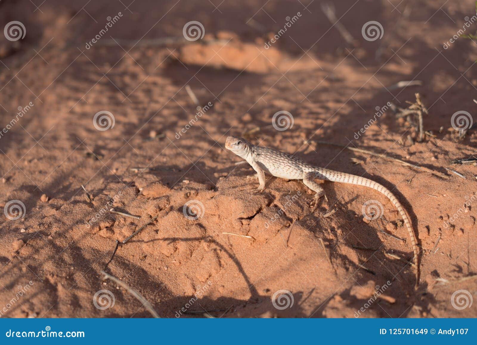 Πλάγια όψη του ερπετού στην έρημο που ξανακοιτάζει