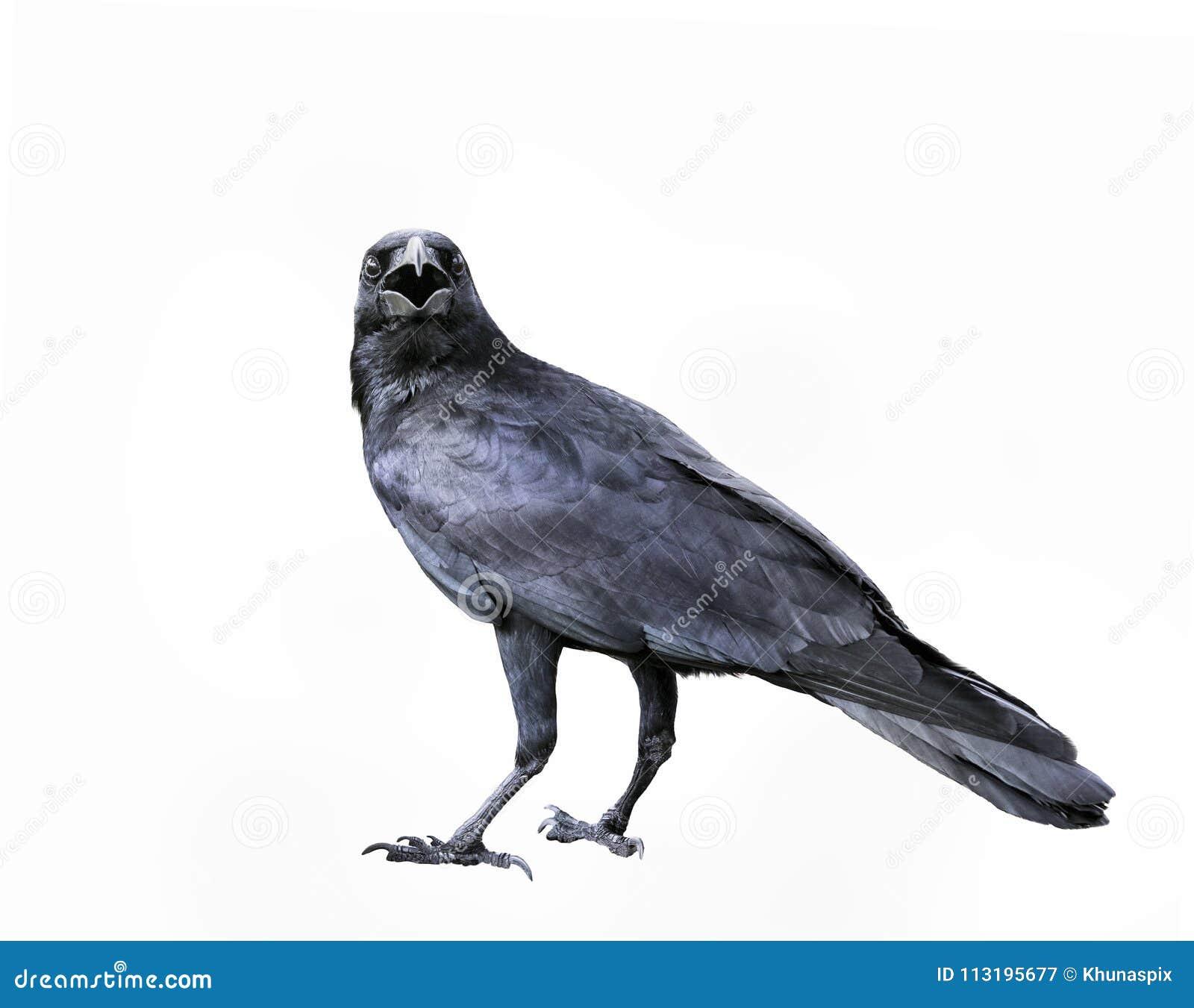 Πλήρες σώμα του μαύρου κόρακα φτερών, απομονωμένο πουλί άσπρο backgr κορακιών