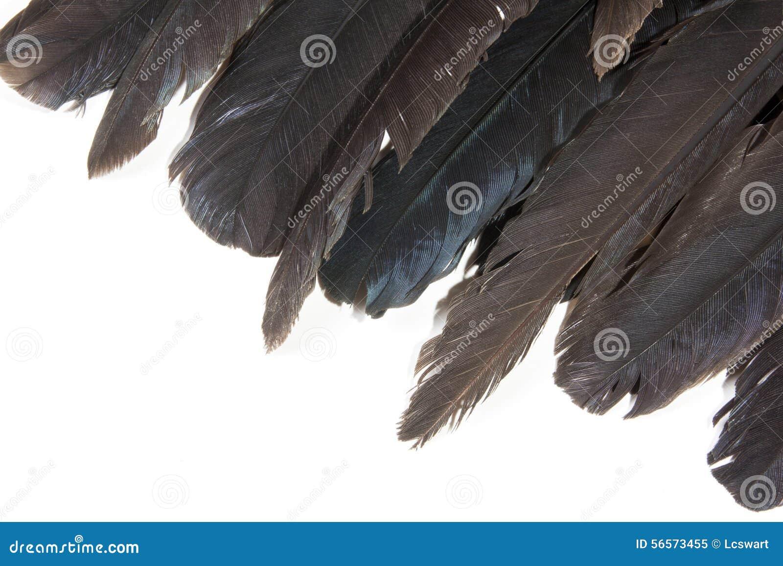 Download Ποικιλίες βαθμών του χρώματος που απεικονίζονται στις άκρες των φτερών πουλιών Στοκ Εικόνα - εικόνα από απομονωμένος, συλλογή: 56573455