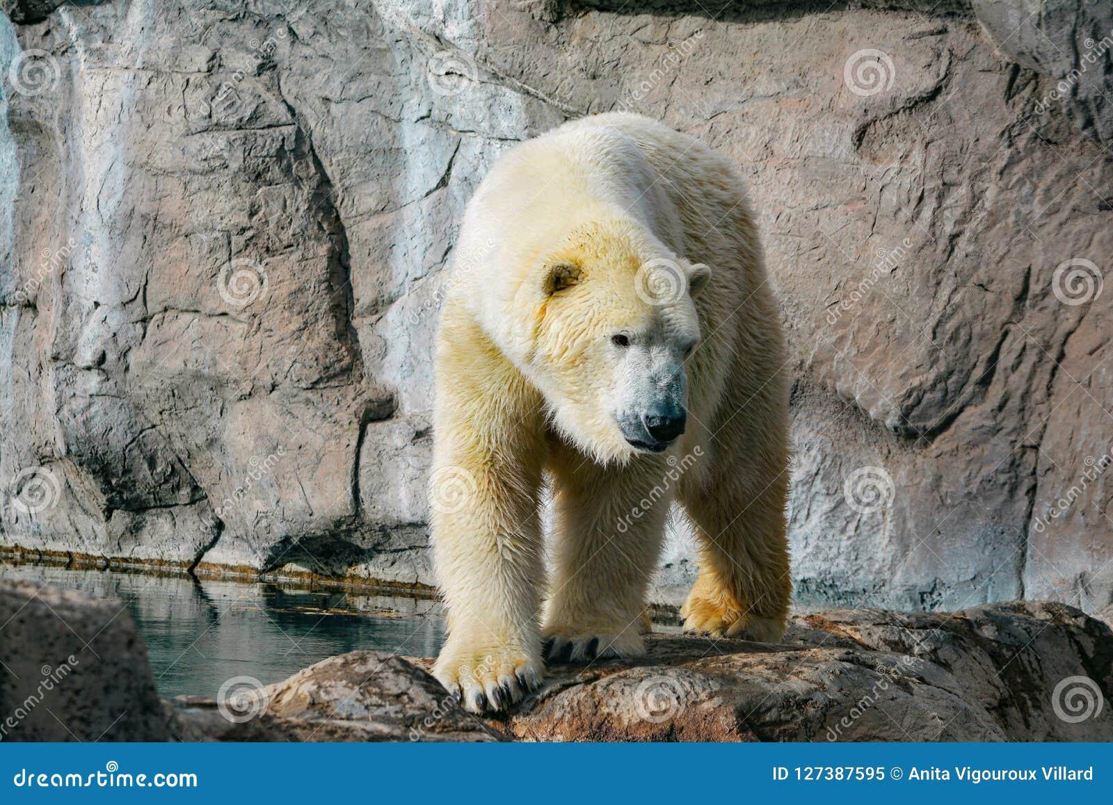 Πολική αρκούδα που περπατά στους βράχους