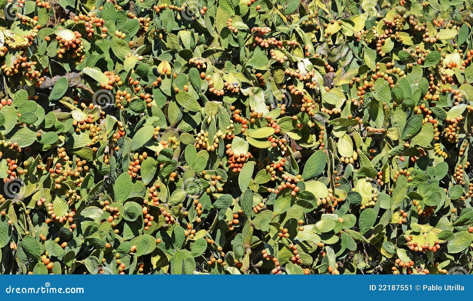 πολλά φυτά αχλαδιών τραχιά