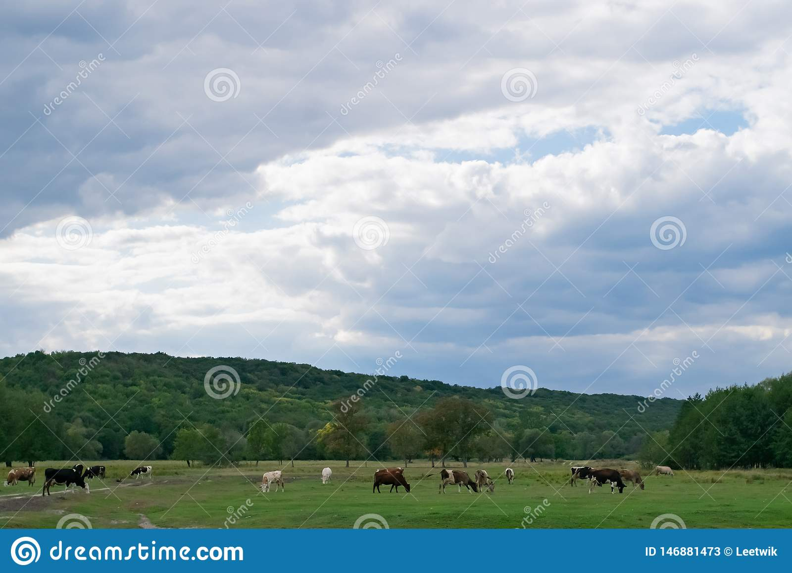 Πολλές αγελάδες βόσκουν σε ένα πράσινο λιβάδι, σε ένα λιβάδι φθινοπώρου και έναν νεφελώδη ουρανό