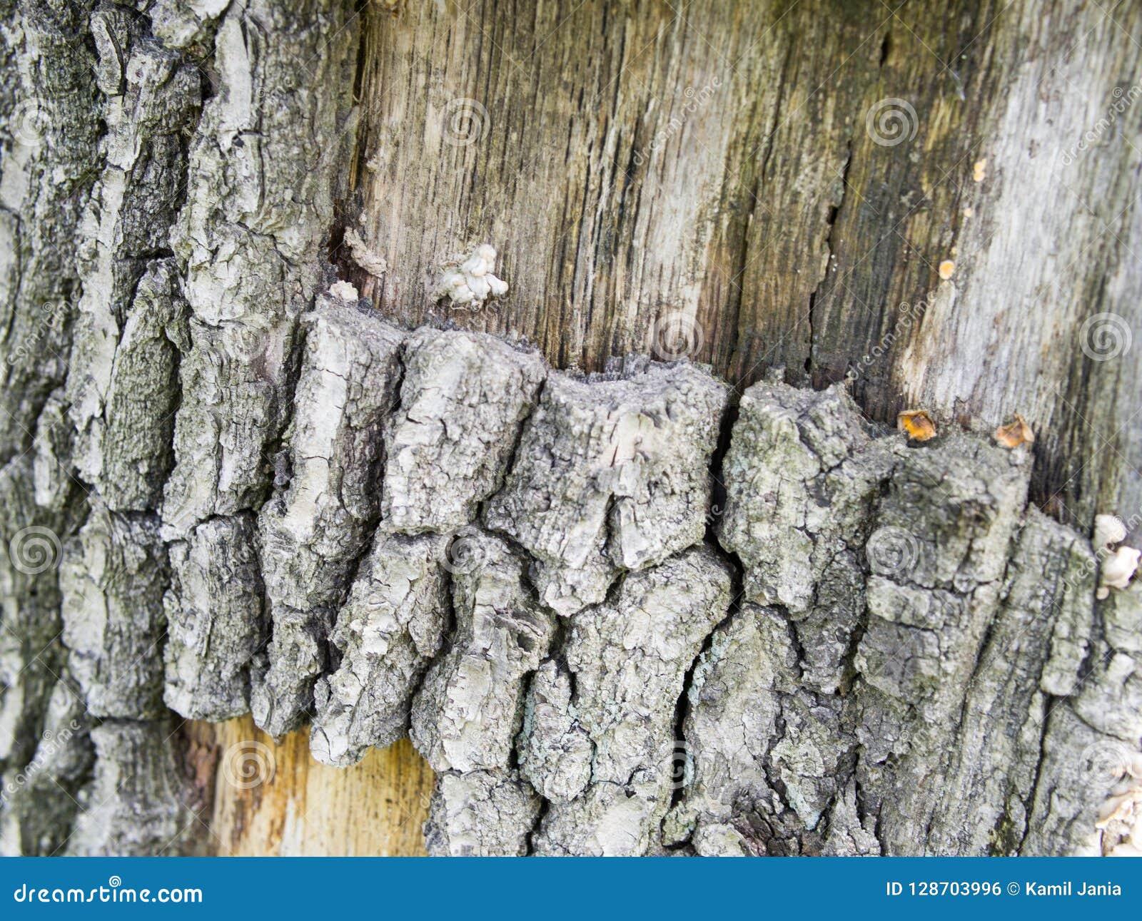 Πολύ παλαιά ασημένια ξύλινη σύσταση φλοιών