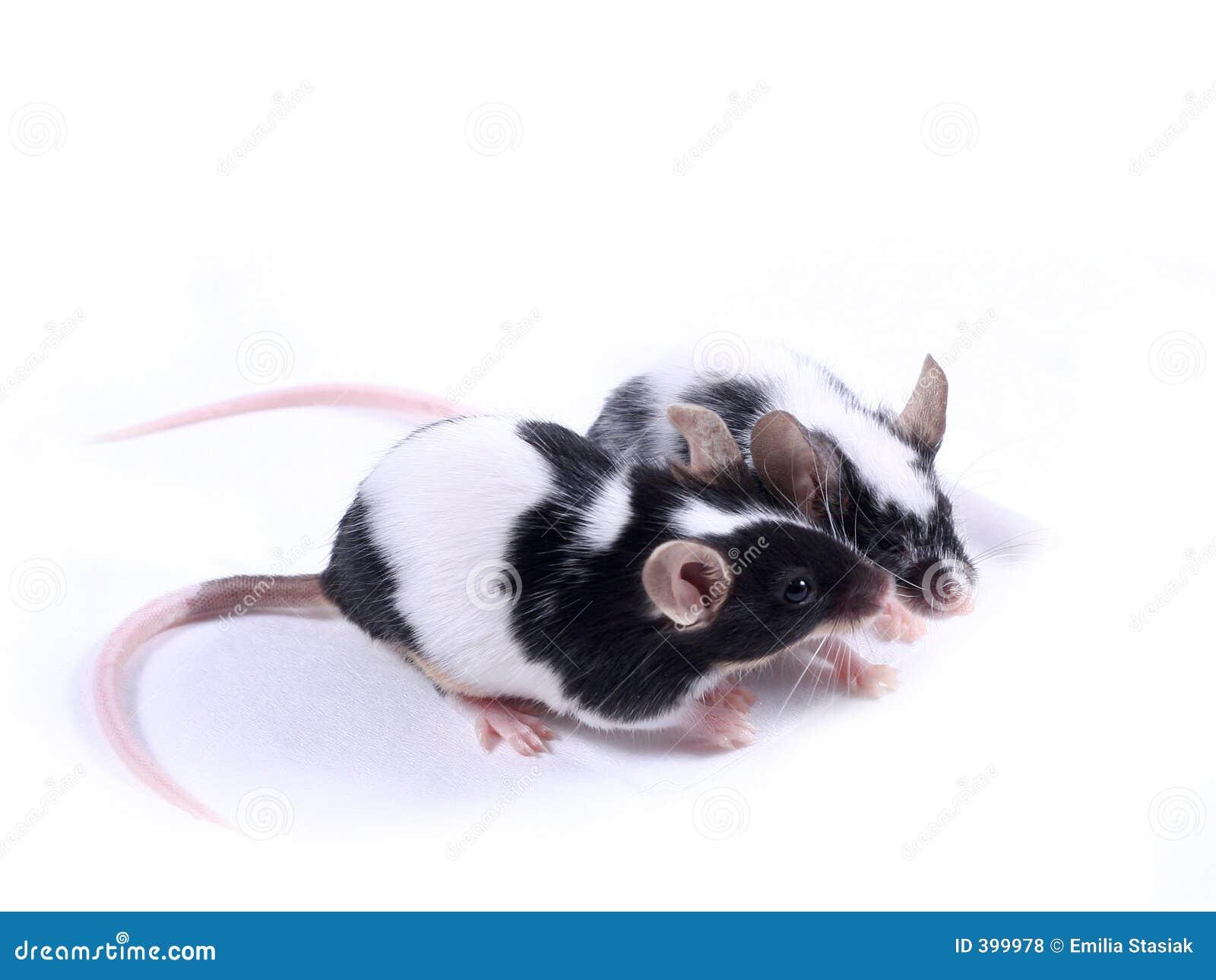 ποντίκια αγάπης
