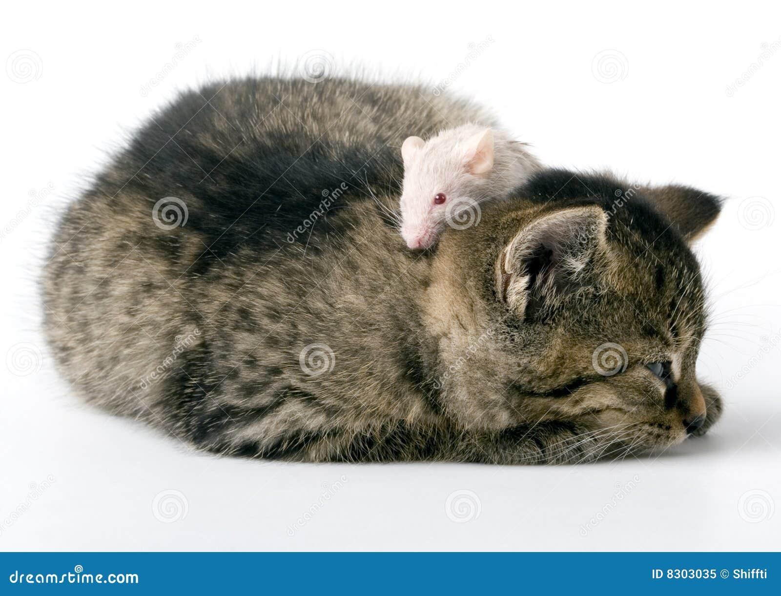 ποντίκι γατών