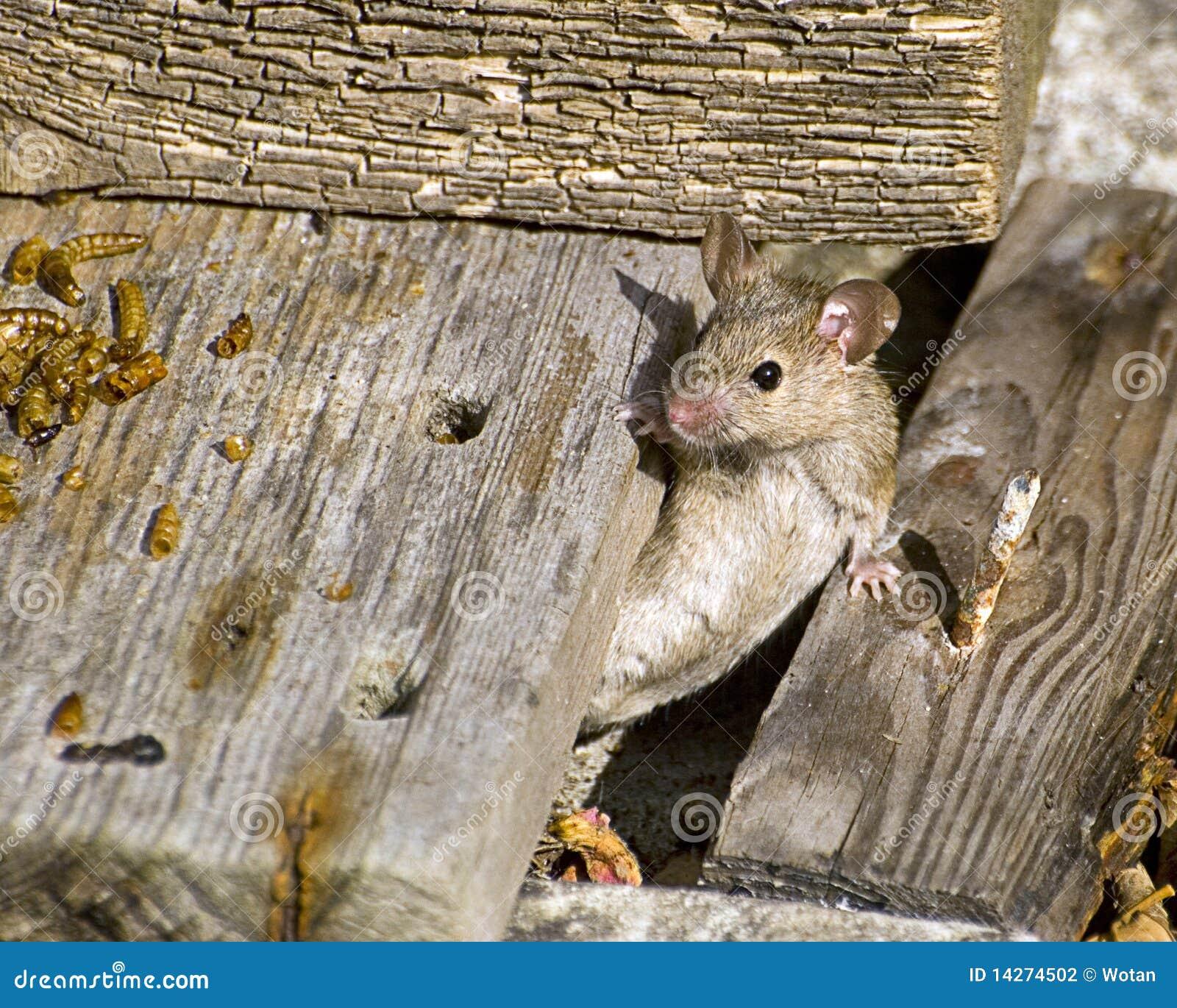 ποντίκι σπιτιών