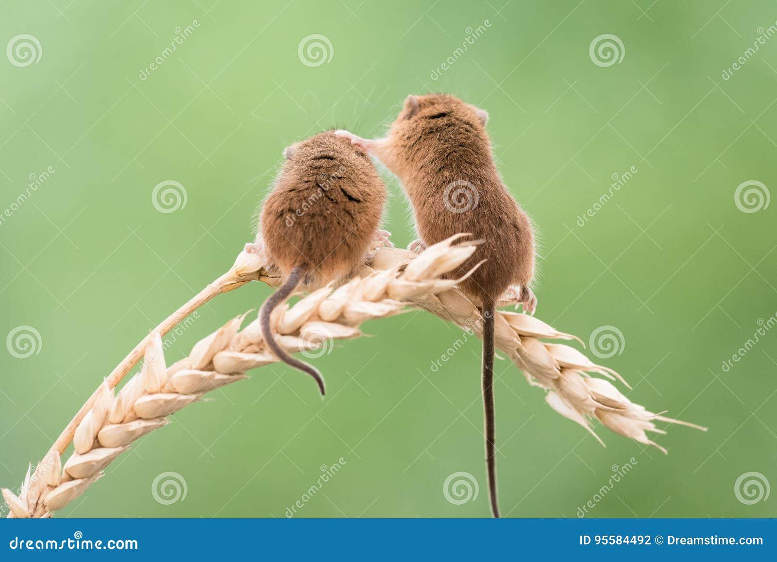Ποντίκι συγκομιδών