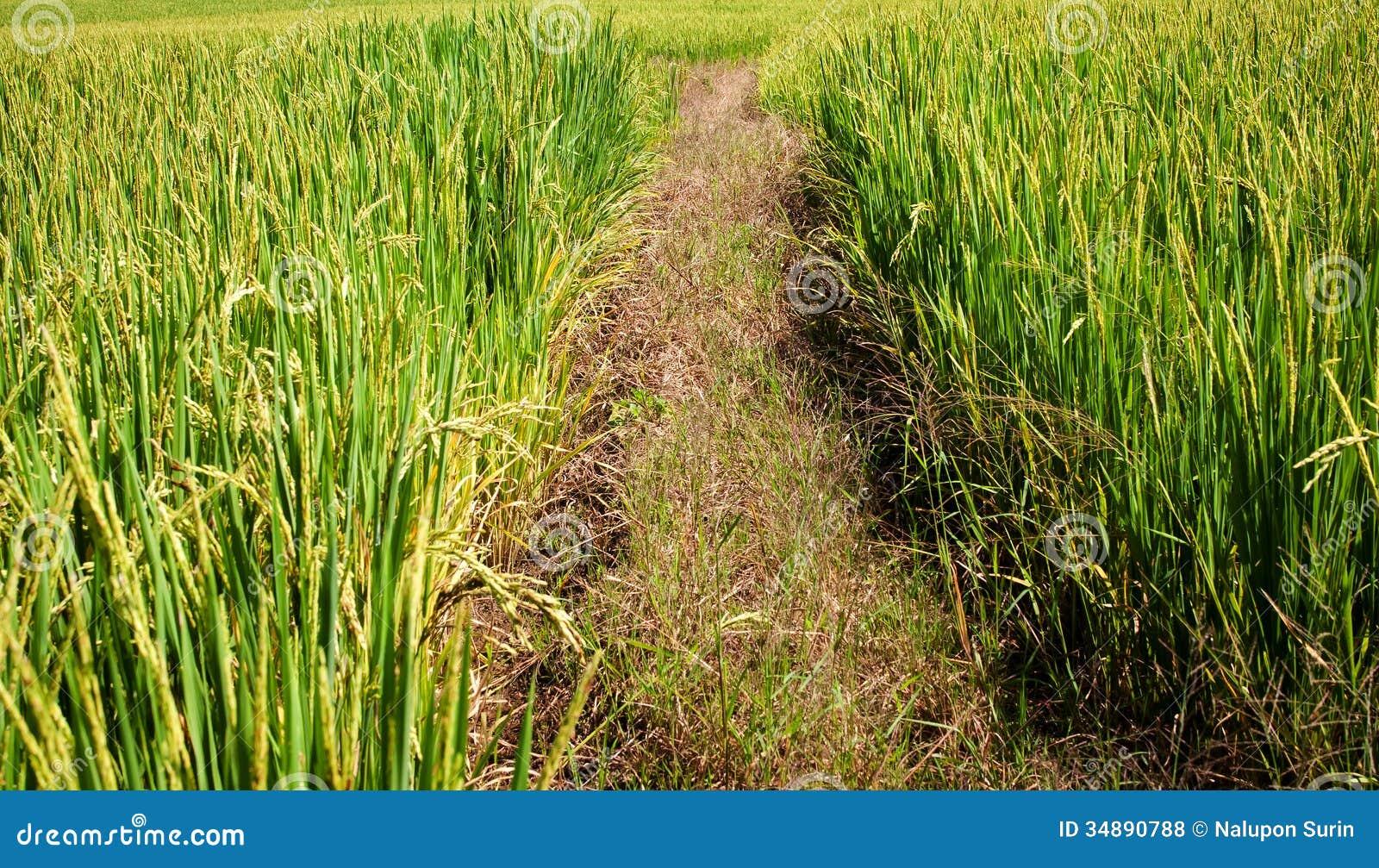 Πορεία μεταξύ των τομέων ρυζιού