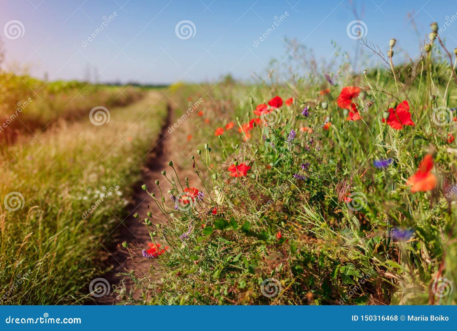 Πορεία στο θερινό τομέα που περιβάλλεται με τα λουλούδια παπαρουνών