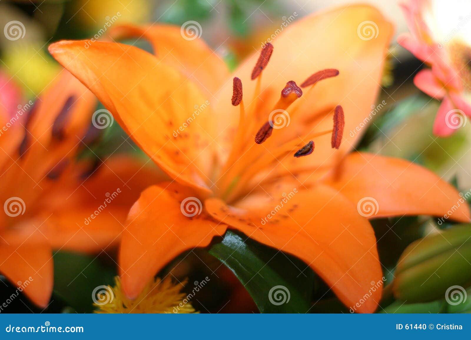 Download πορτοκάλι λουλουδιών στοκ εικόνες. εικόνα από εύθραυστος - 61440