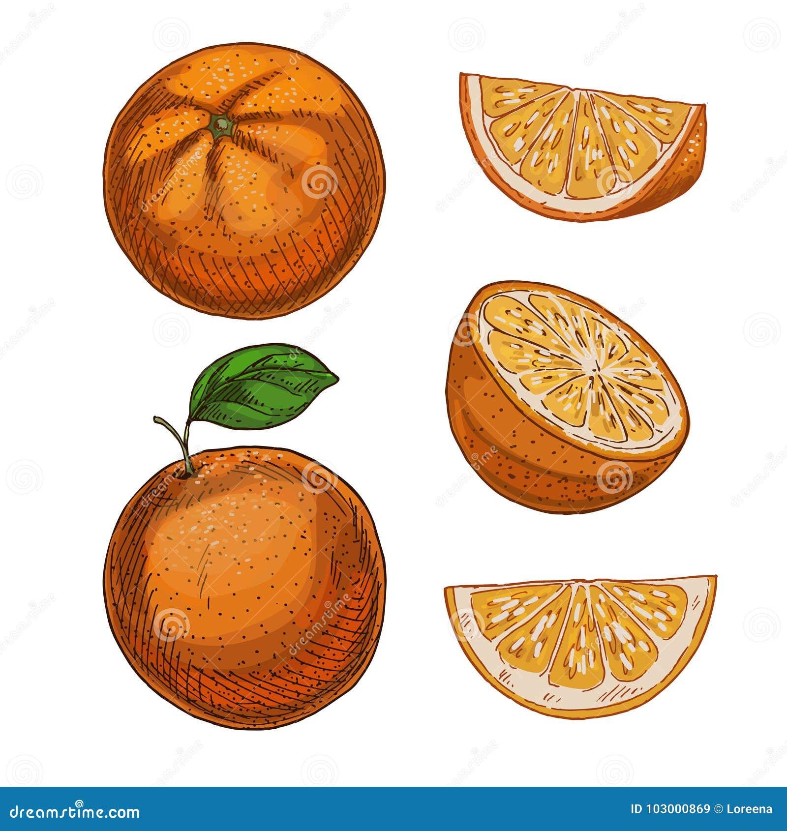 Πορτοκάλι, σύνολο στοιχείων Πλήρες ρεαλιστικό σκίτσο χρώματος