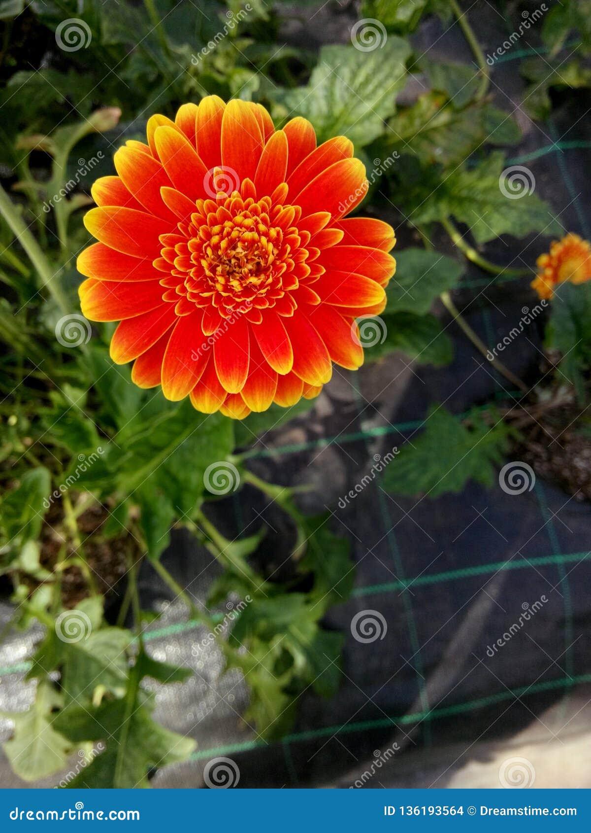 Πορτοκαλής πολύ όμορφος λουλουδιών