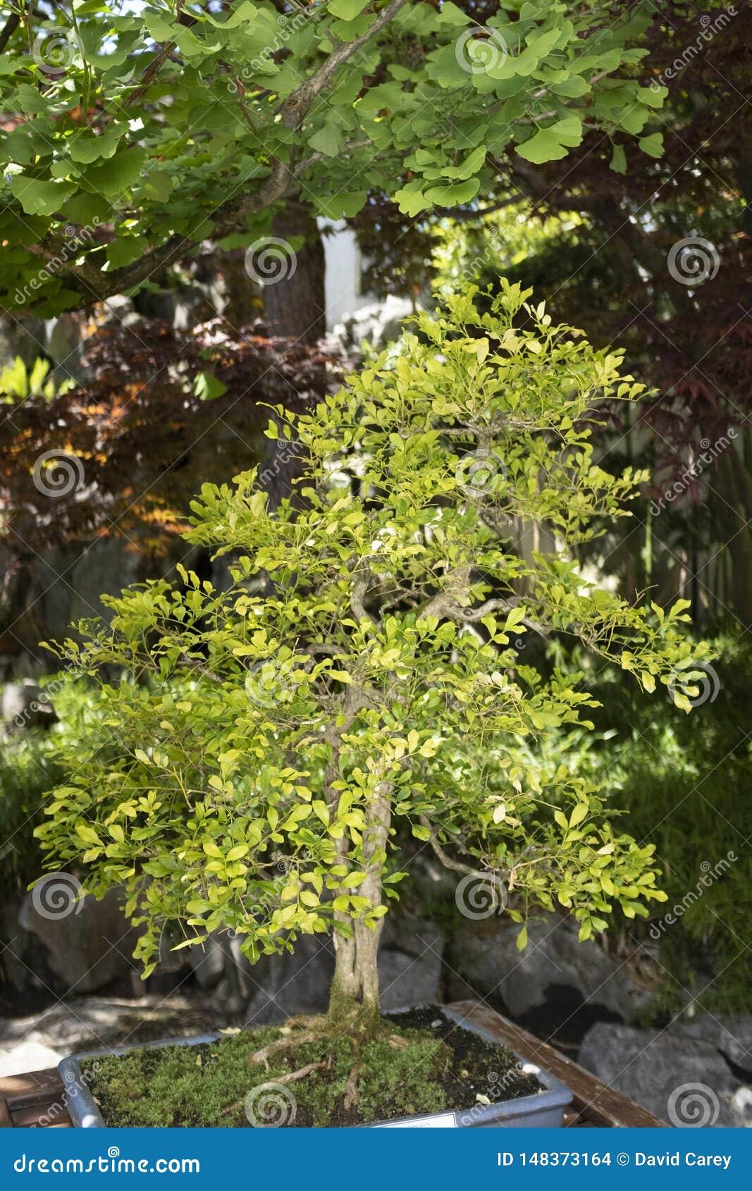 Πορτοκαλής jasmine δίδυμος κορμός, σχολικό ύφος Lingnan