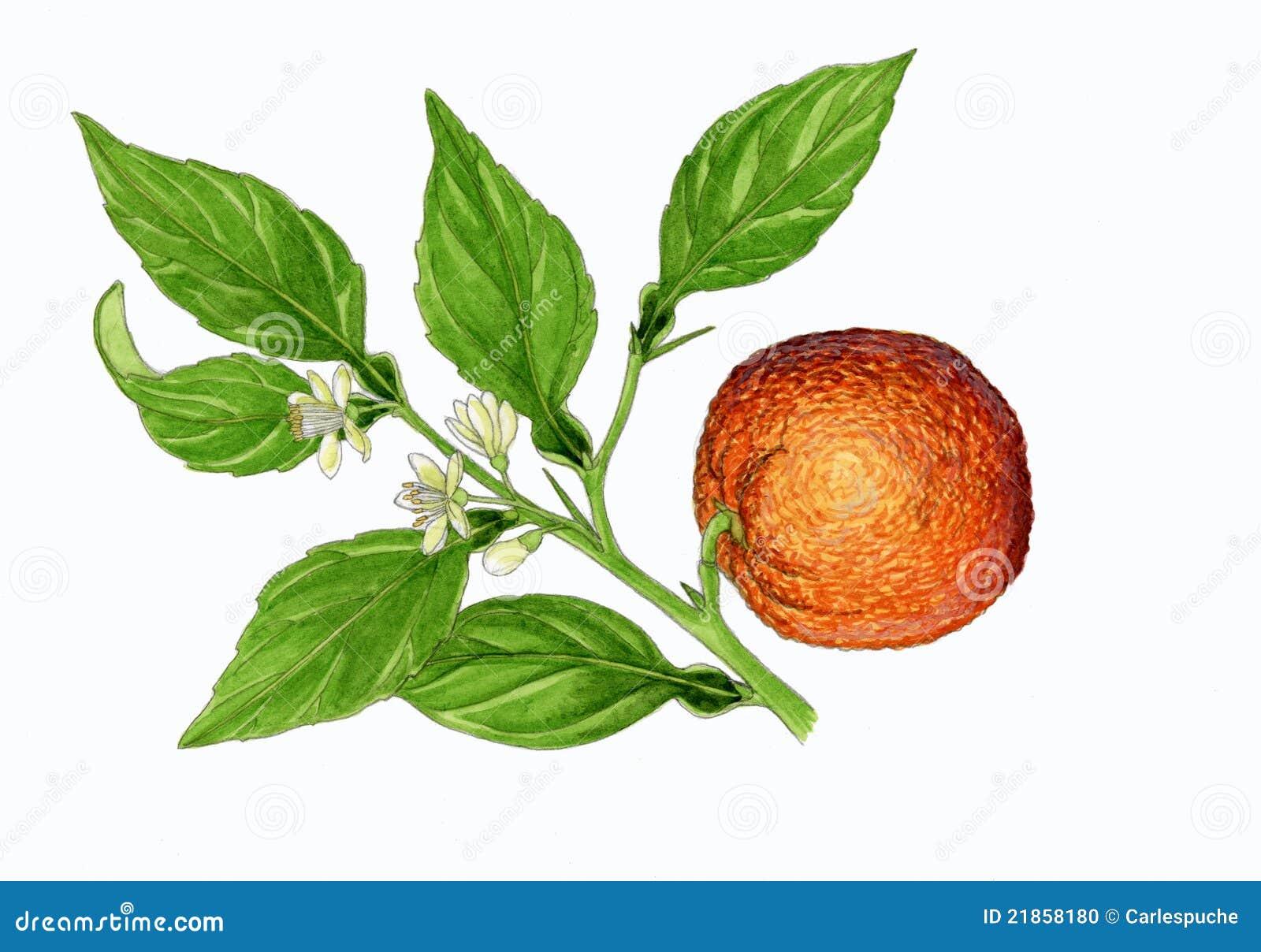 πορτοκαλί δέντρο εσπερι&