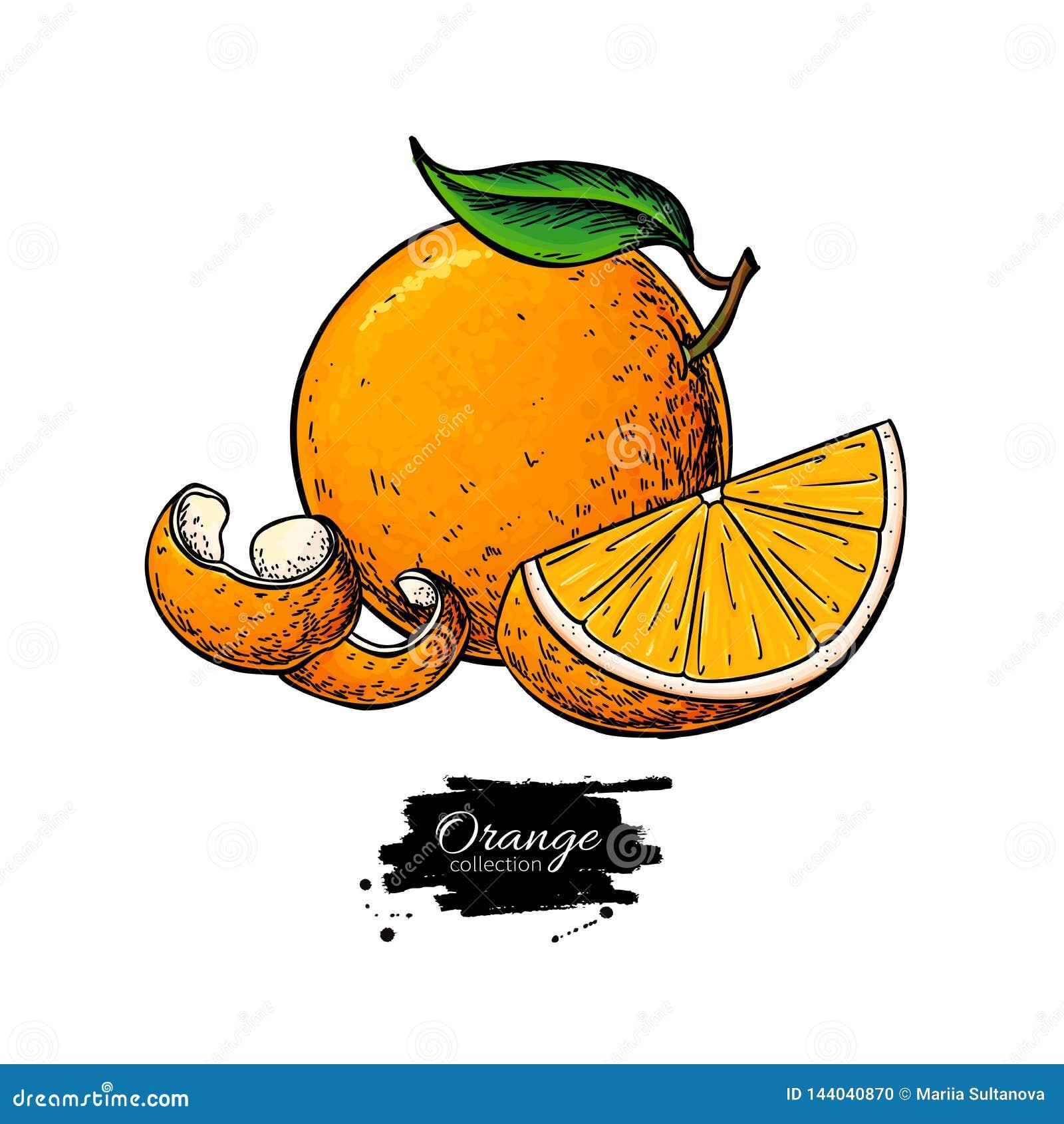 Πορτοκαλί διανυσματικό σχέδιο Έγχρωμη εικονογράφηση θερινών φρούτων Απομονωμένες συρμένες χέρι ολόκληρες πορτοκάλι, φέτα και φλού