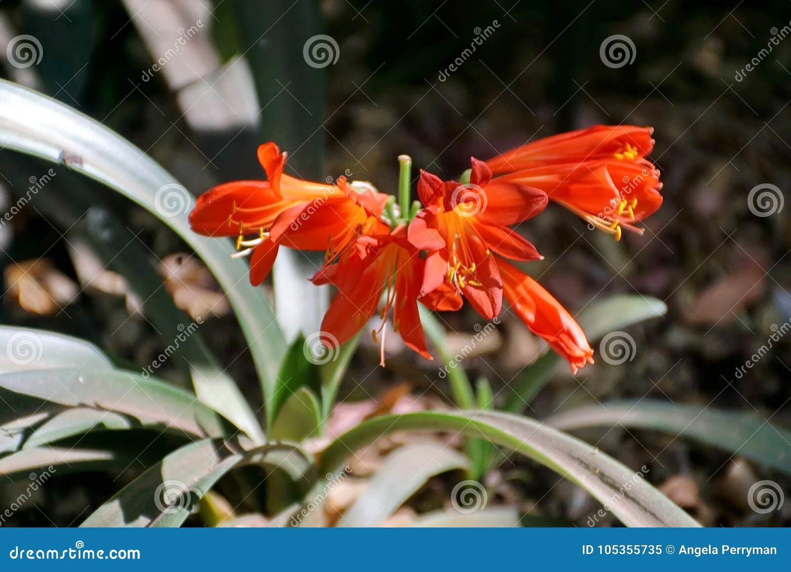 Πορτοκαλί clivia στη Πρετόρια, Νότια Αφρική