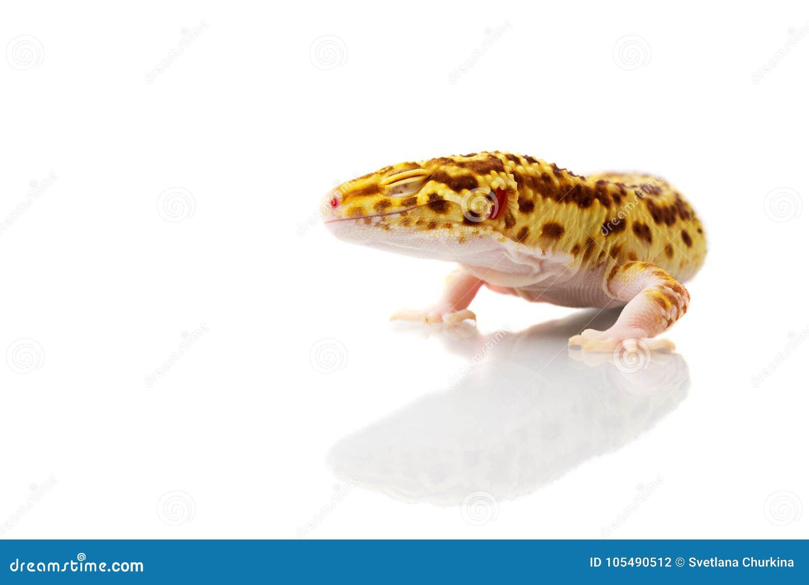 Πορτοκαλί gecko λεοπαρδάλεων