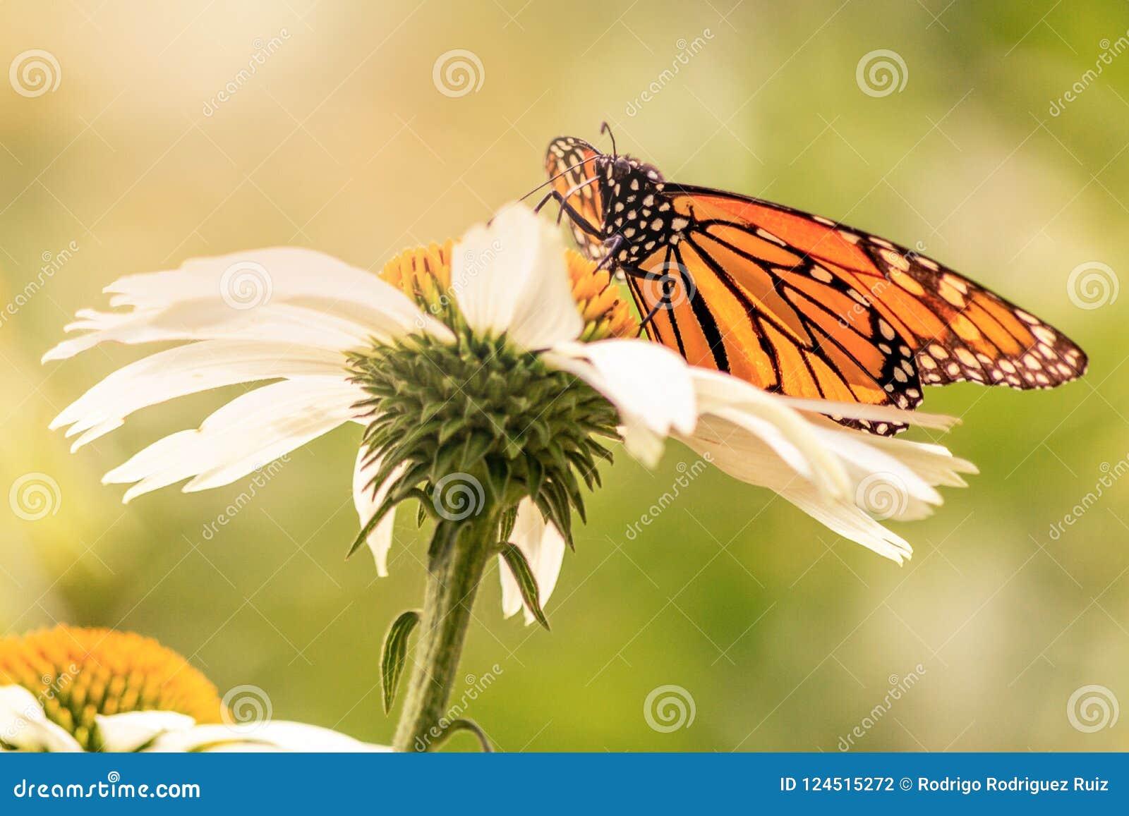 Πορτοκαλιά και μαύρα φτερά μιας πεταλούδας μοναρχών