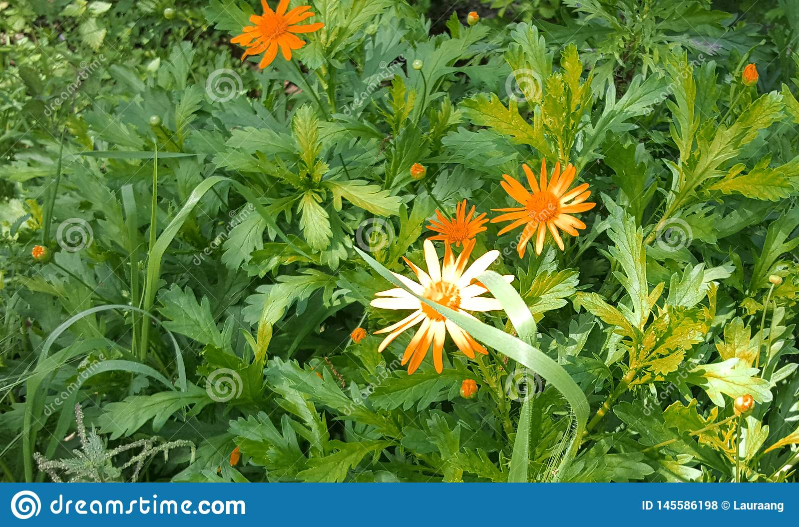 Πορτοκαλιά λουλούδια στον κήπο Η ομορφιά στη φύση