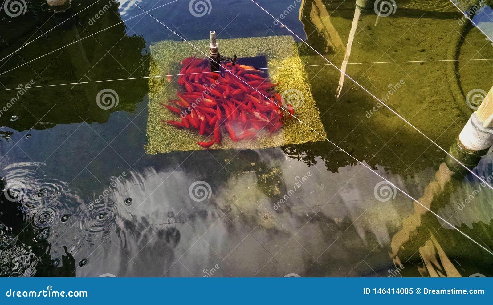 Πορτοκαλιά ψάρια στη Angers, Γαλλία