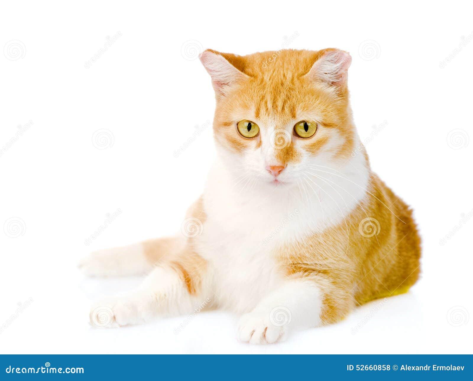 Πορτοκαλιά γάτα που βρίσκεται στο μέτωπο Στην άσπρη ανασκόπηση