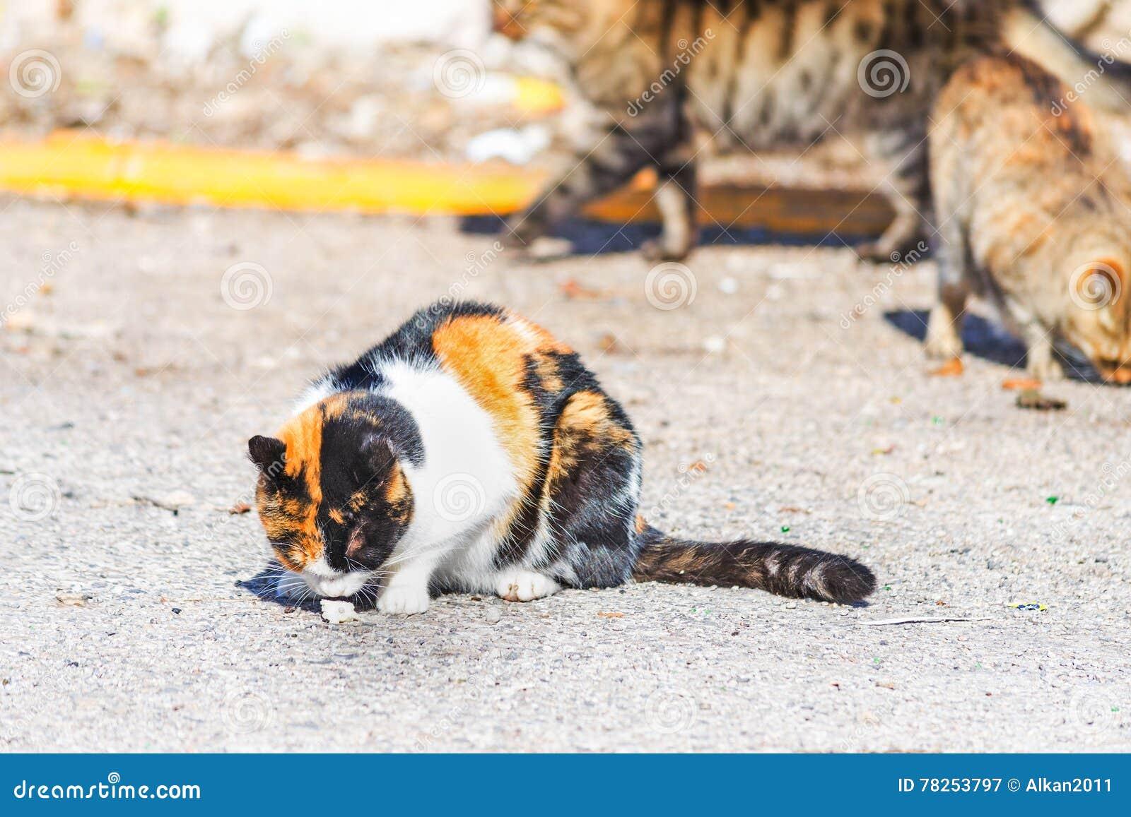 Πορτοκαλιά, γραπτή γάτα