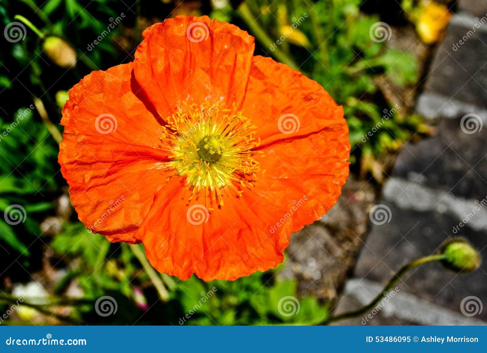 πορτοκαλιά παπαρούνα
