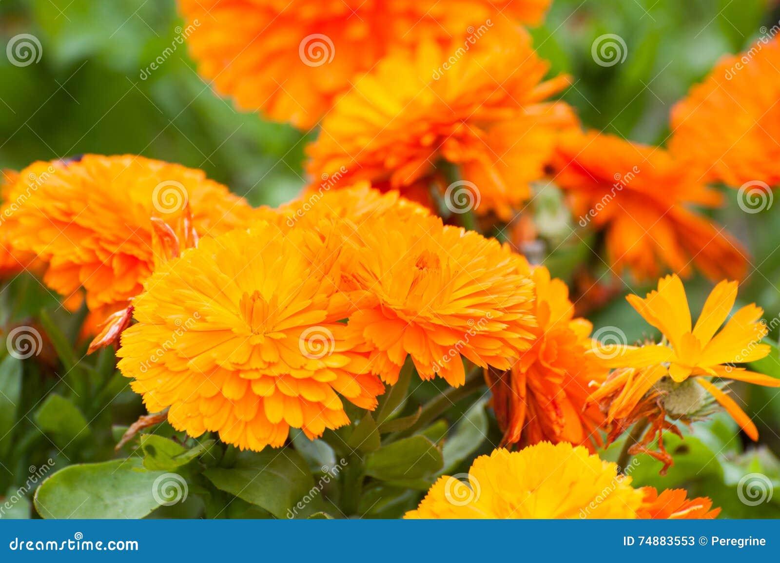 Πορτοκαλιά Marigold λουλούδια (tagetes)