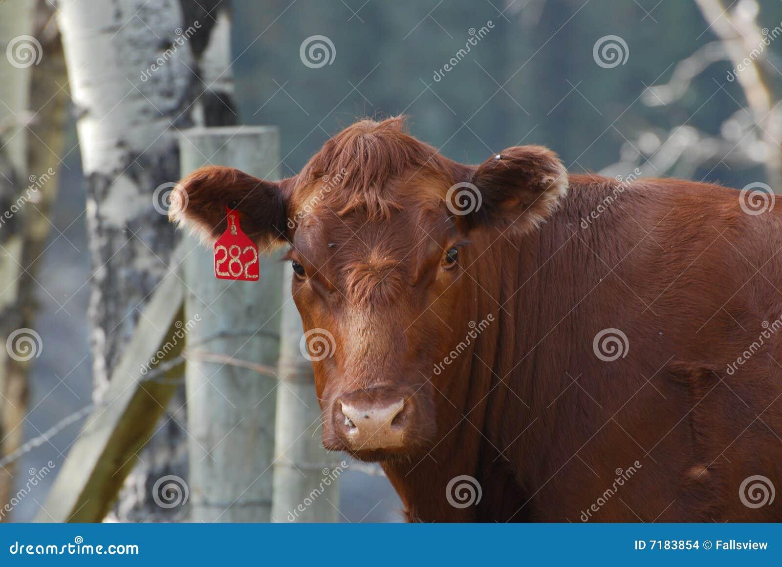 πορτρέτο αγελάδων
