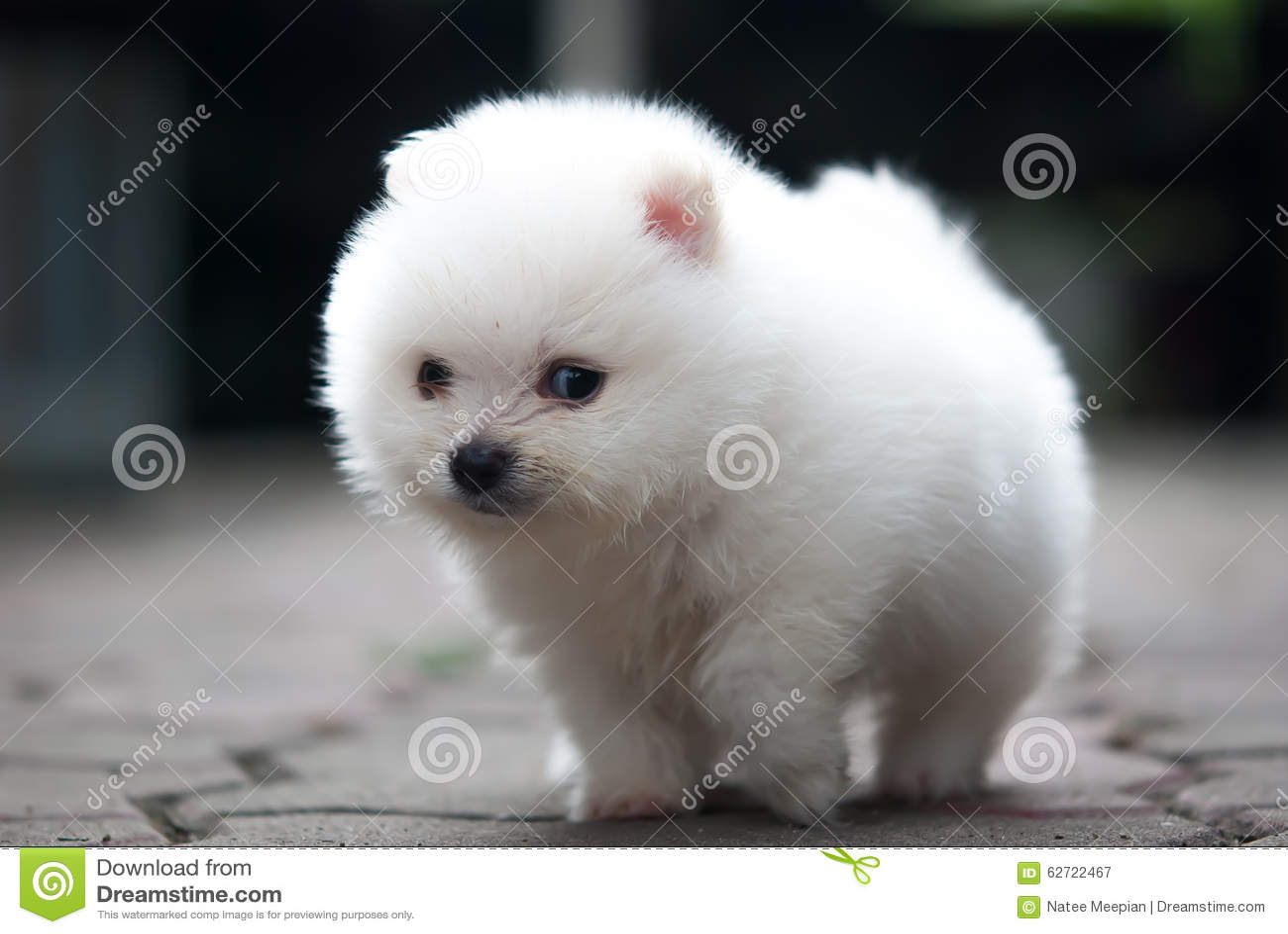 Πορτρέτο ενός άσπρου κουταβιού Pomeranian