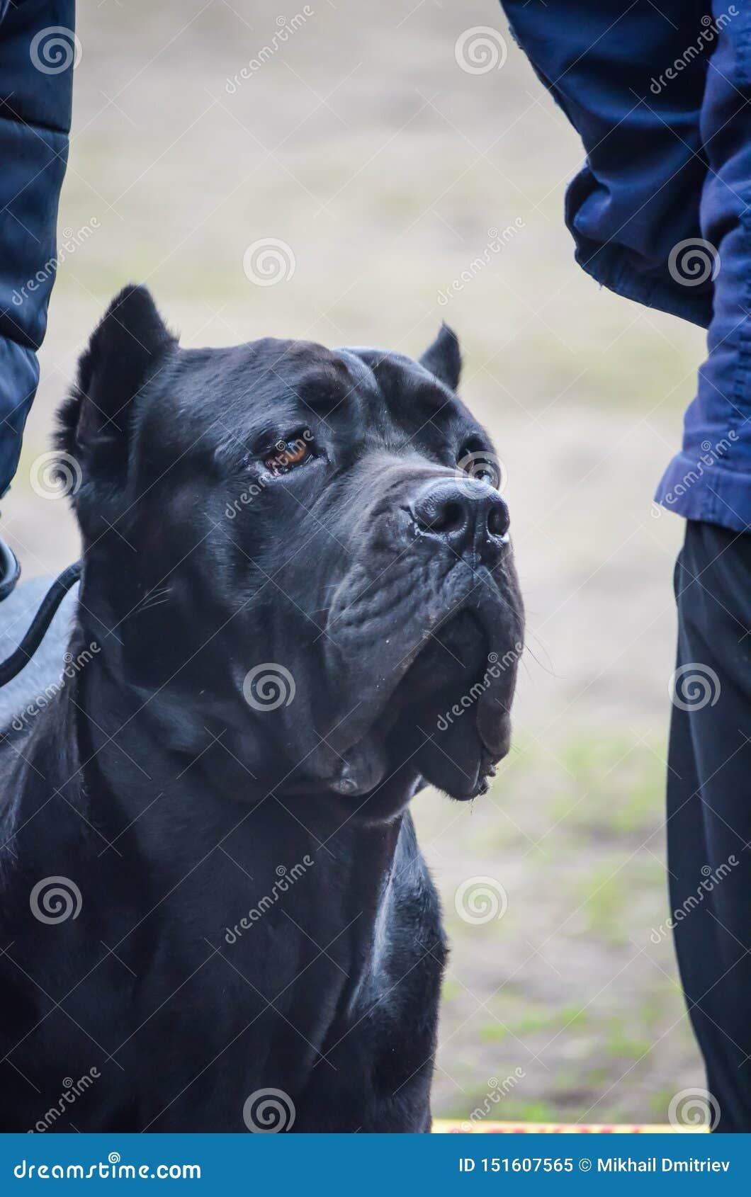 Πορτρέτο ενός ισχυρού μαύρου καλάμου Corso φυλής σκυλιών Έξυπνος βέβαιος εξετάζει την απόσταση Πυροβολισμός σε επίπεδο ματιών ενό