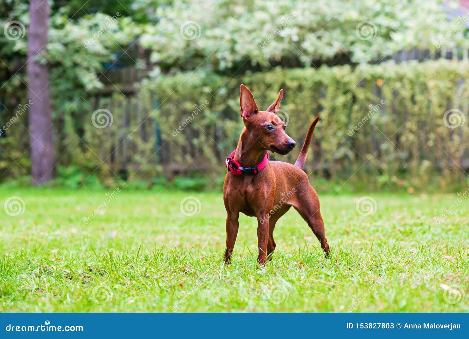 Πορτρέτο ενός κόκκινου μικροσκοπικού σκυλιού pinscher