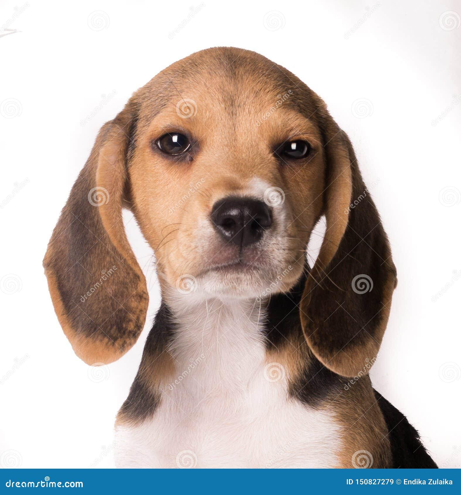 Πορτρέτο κινηματογραφήσεων σε πρώτο πλάνο του κουταβιού σκυλιών λαγωνικών που εξετάζει τη κάμερα απομονωμένου στο άσπρο bakcgroun