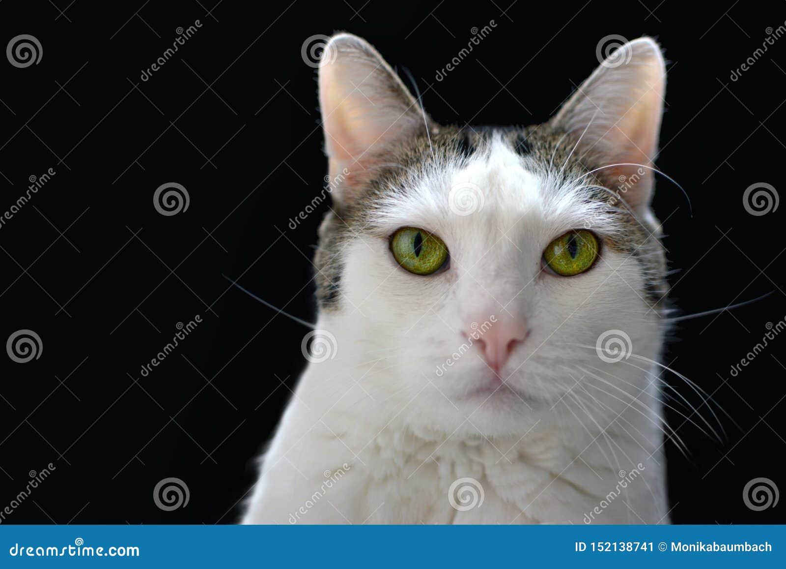 Πορτρέτο μιας άσπρης γάτας με τα τιγρέ σημεία, τα βεραμάν μάτια και τη ρόδινη μύτη στο μαύρο υπόβαθρο