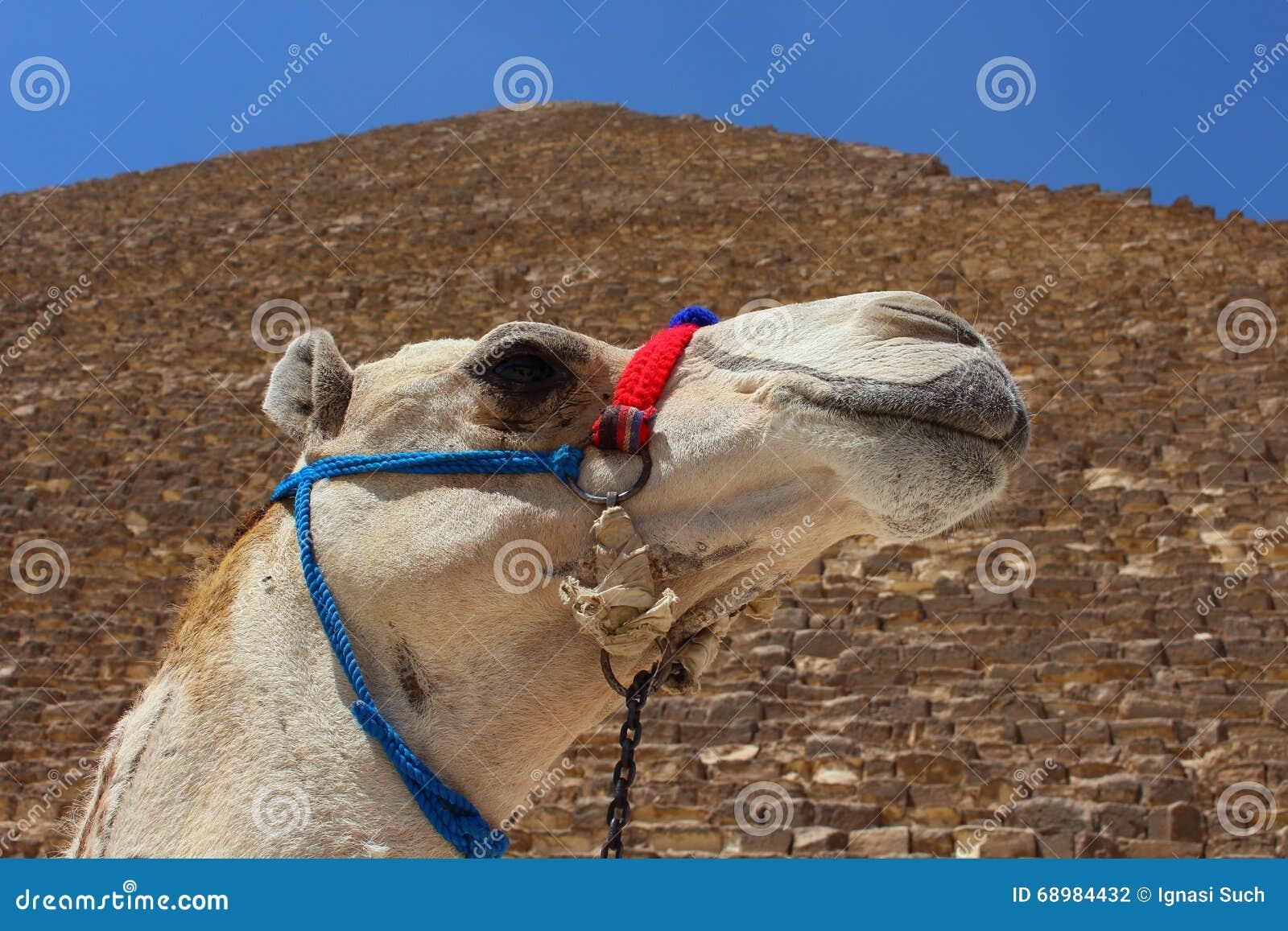Πορτρέτο μιας αφρικανικής καμήλας με τις πυραμίδες Giza στο μαλακό υπόβαθρο