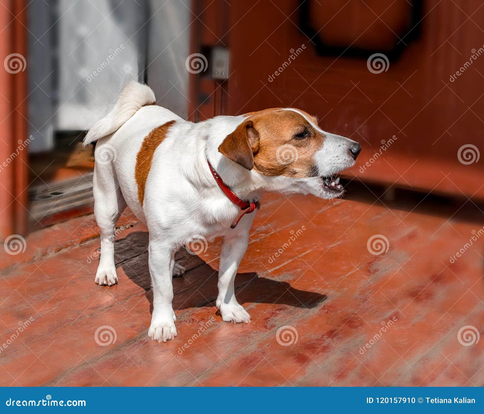 Πορτρέτο μισό-προσώπου του χαριτωμένου μικρού τεριέ γρύλων σκυλιών russel που στέκεται και που αποφλοιώνει έξω στο ξύλινο μέρος τ