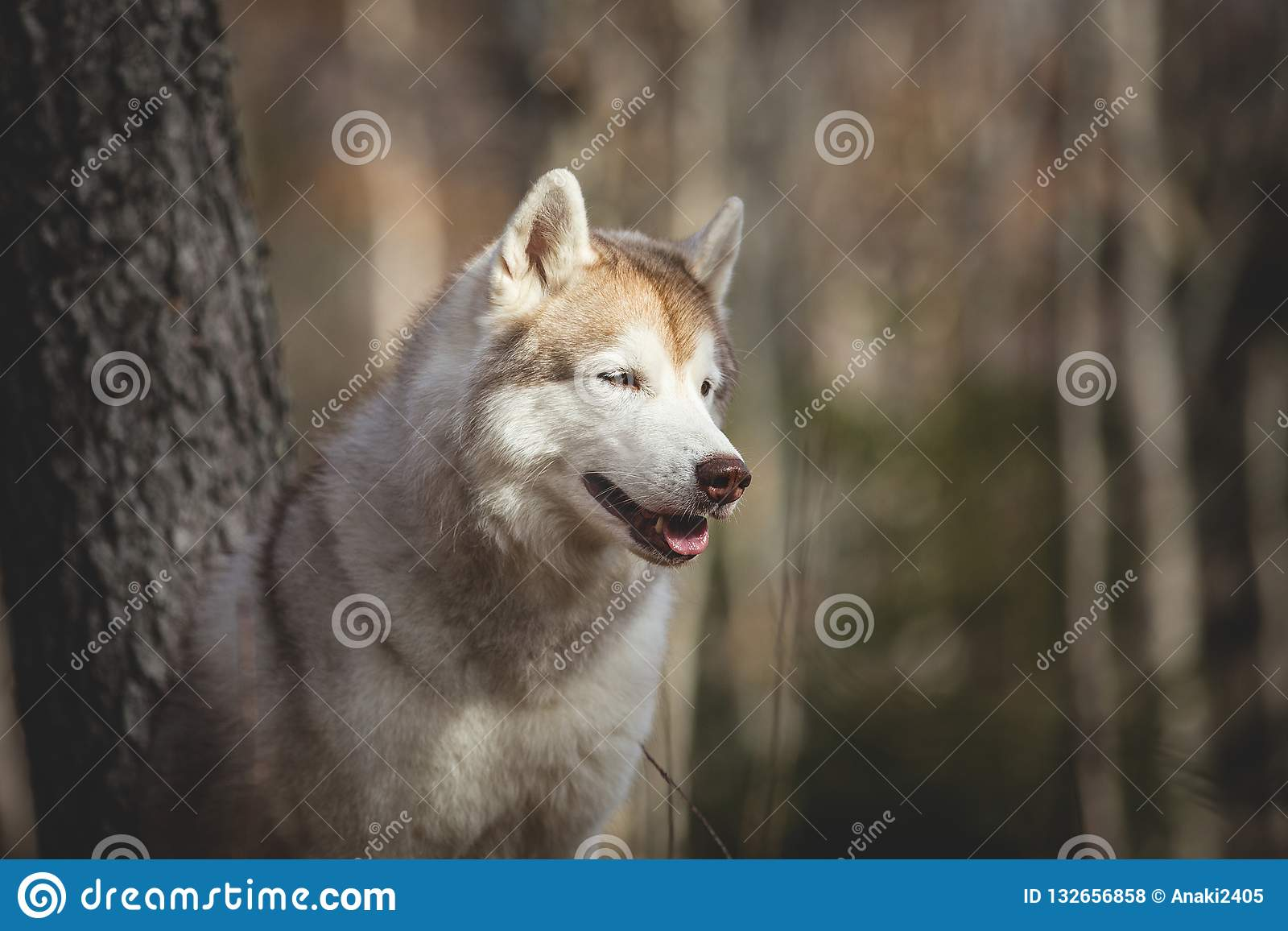 Πορτρέτο σχεδιαγράμματος της πανέμορφης και ελεύθερης σιβηρικής γεροδεμένης συνεδρίασης φυλής σκυλιών στο δάσος φθινοπώρου στο υπ