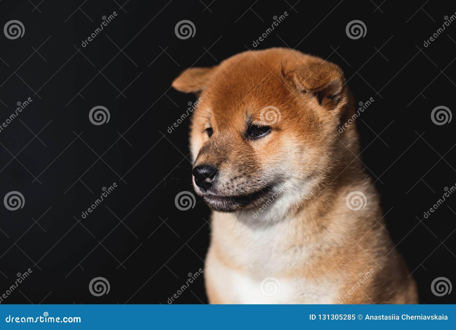 Πορτρέτο σχεδιαγράμματος του καλού κουταβιού σκυλιών Shiba Inu σε ένα σκοτεινό υπόβαθρο