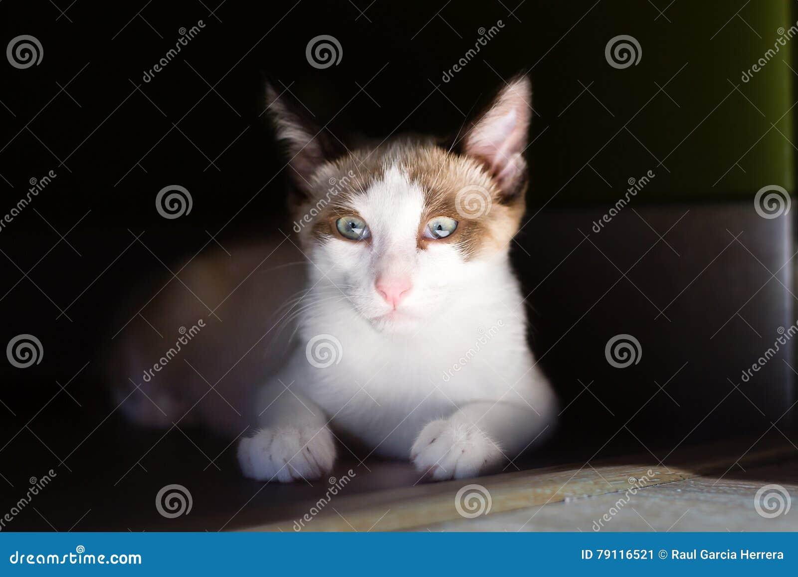 d590fc2db32e Πορτρέτο της ανοικτό καφέ και άσπρης γάτας που απομονώνεται στο σκοτεινό  υπόβαθρο