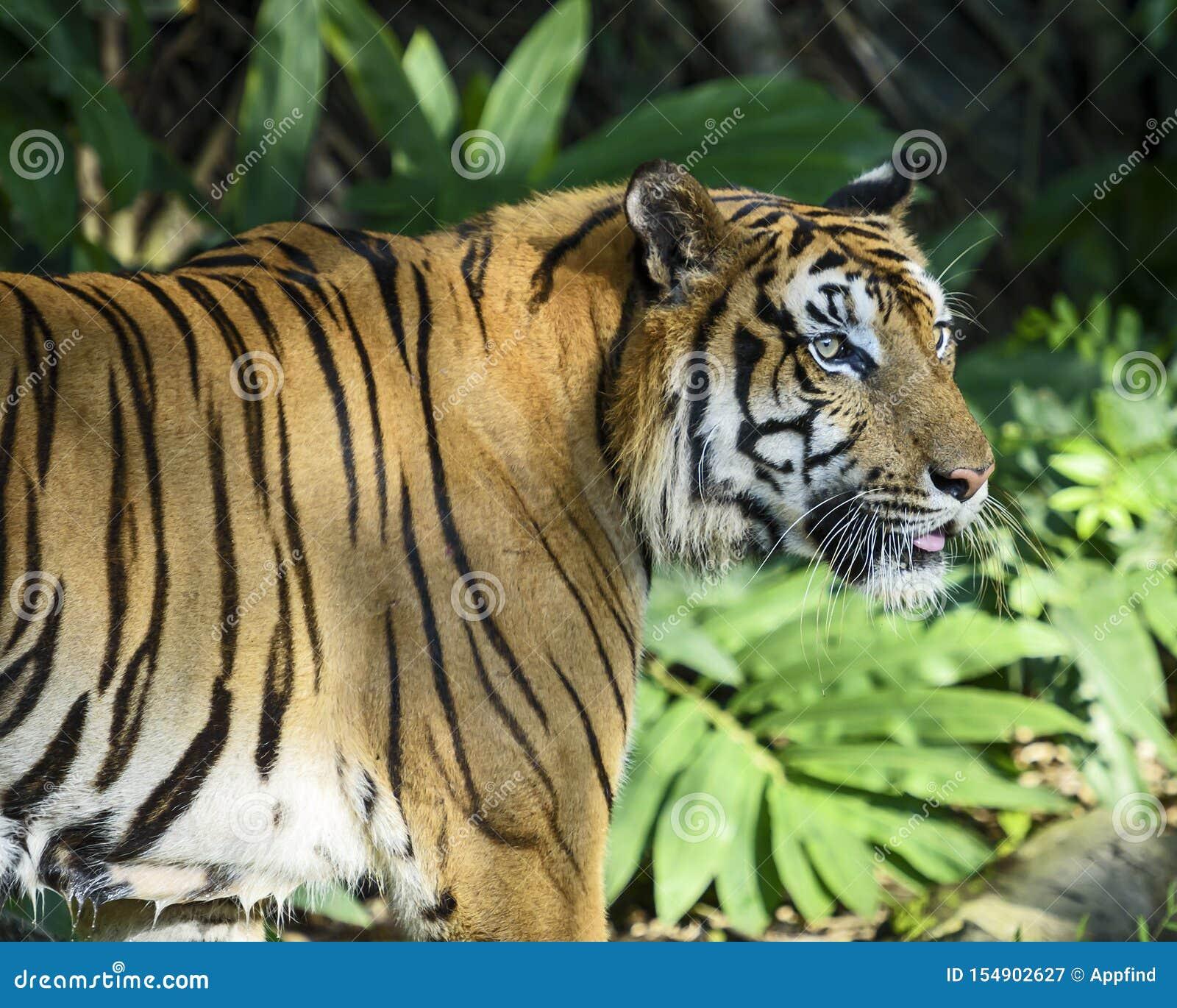 Πορτρέτο της τίγρης
