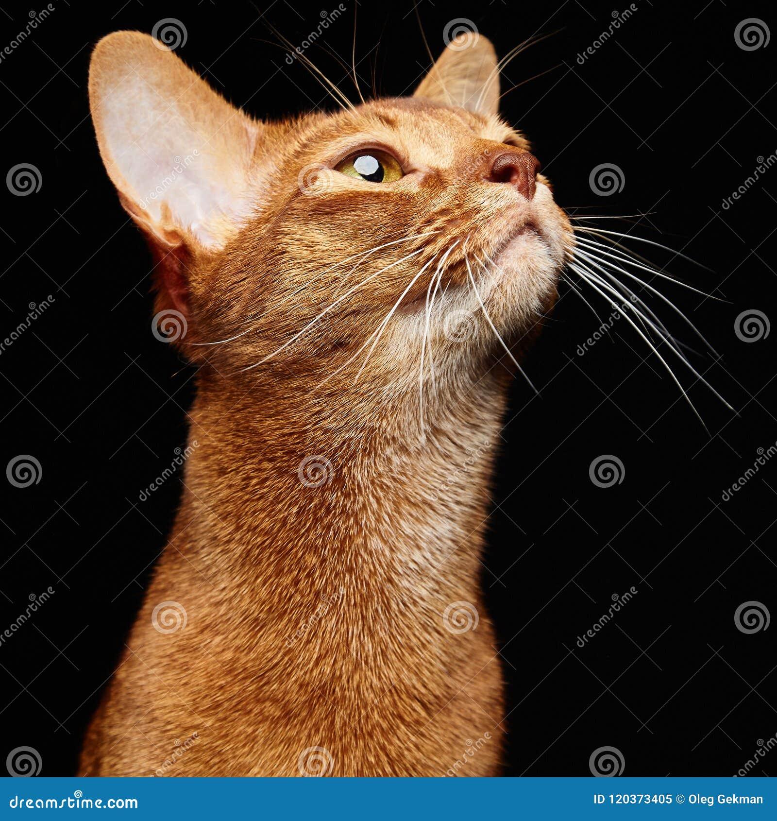 Πορτρέτο της όμορφης νέας abyssinian γάτας