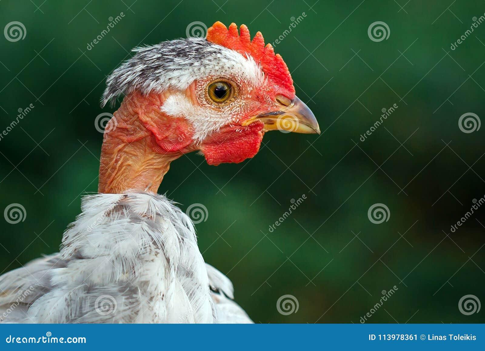 Άτριχες κότες