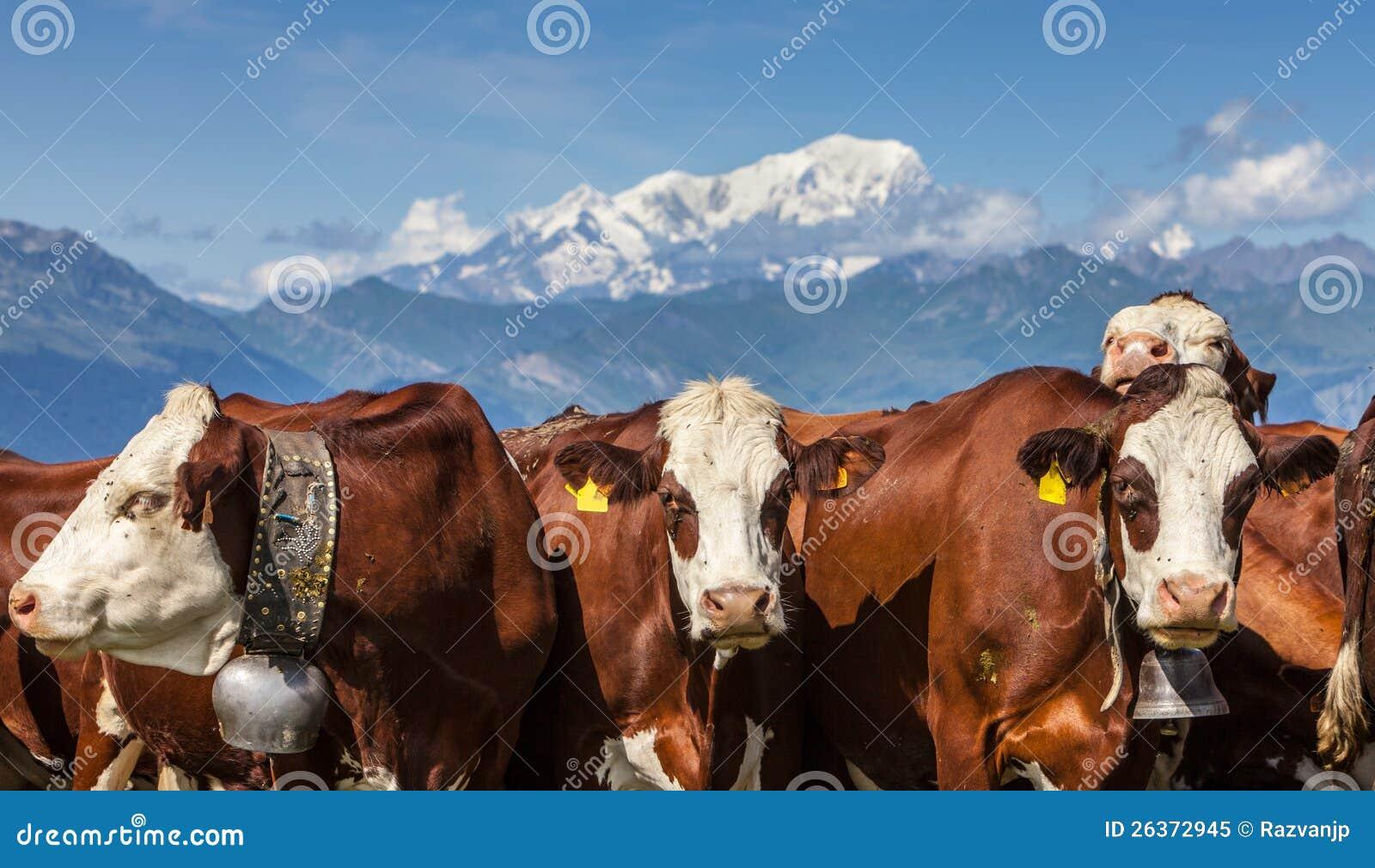 Πορτρέτο των αγελάδων
