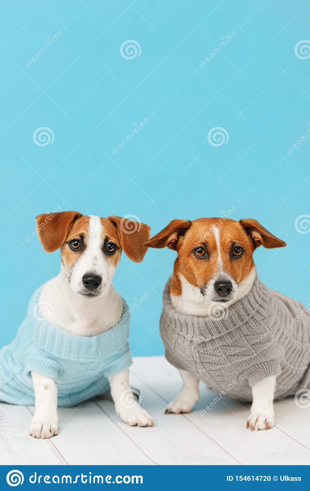Πορτρέτο των χαριτωμένων σκυλιών στις πλεκτές μπλούζες, της φωτογραφίας στούντιο του κουταβιού του Jack Russell και του mom του
