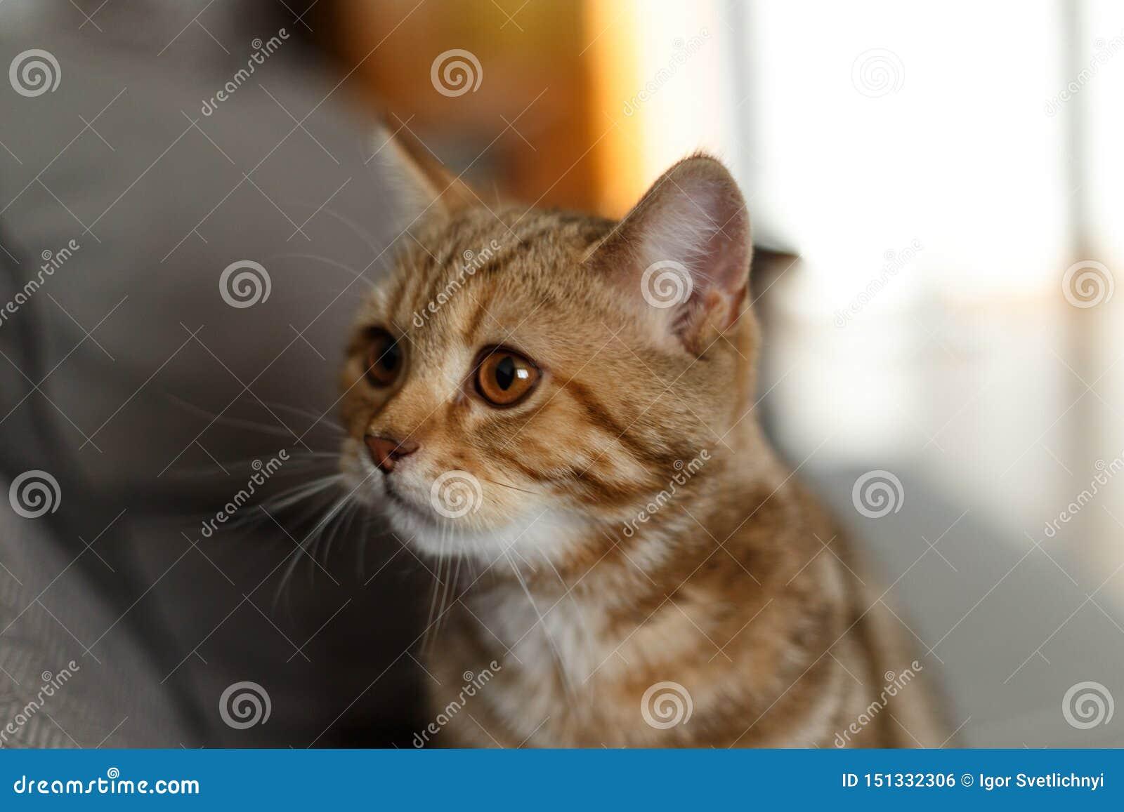 Πορτρέτο χαριτωμένο σκωτσέζικου ενός ευθύ γατακιών Σκωτσέζικη γάτα χρυσή