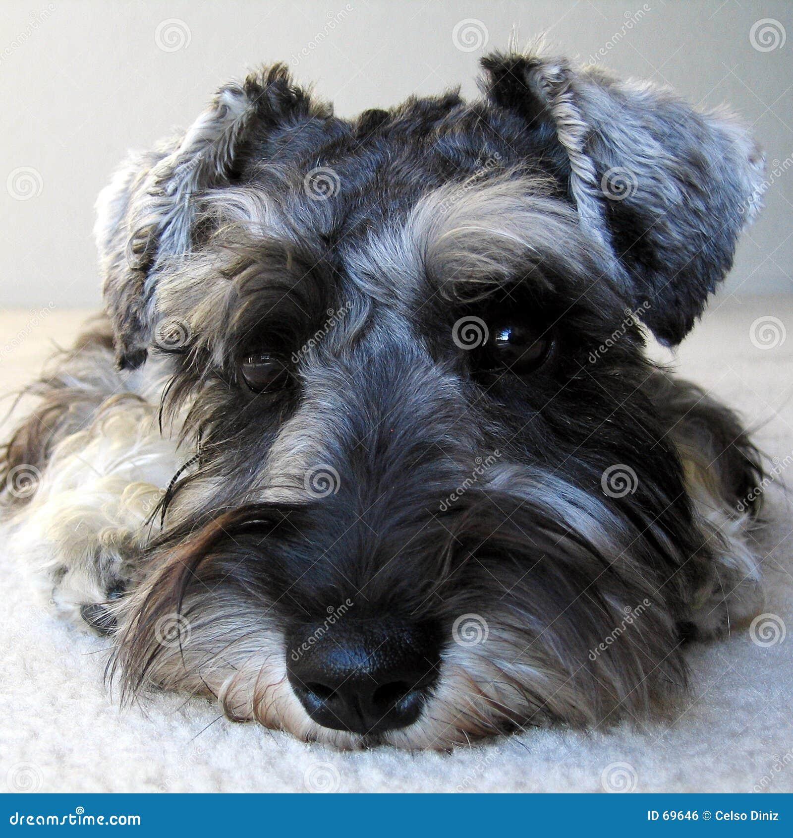 πορτρέτο s σκυλιών