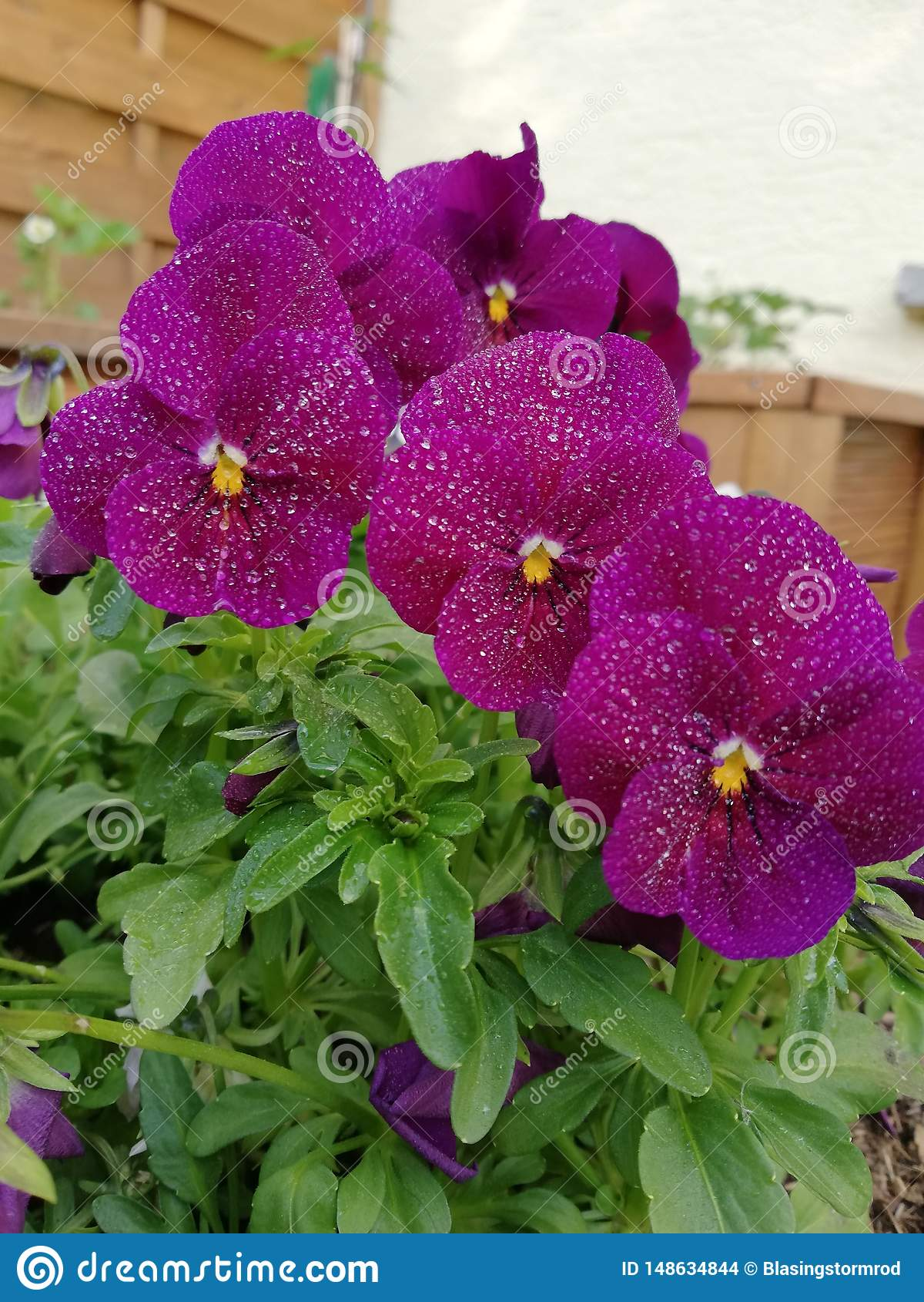 Πορφυρά λουλούδια βροχής