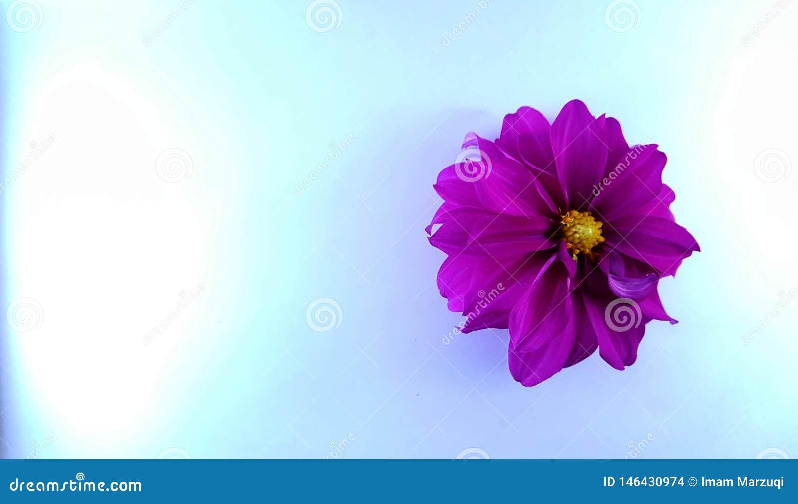 Πορφυρά λουλούδια στο μπλε κατασκευασμένο υπόβαθρο