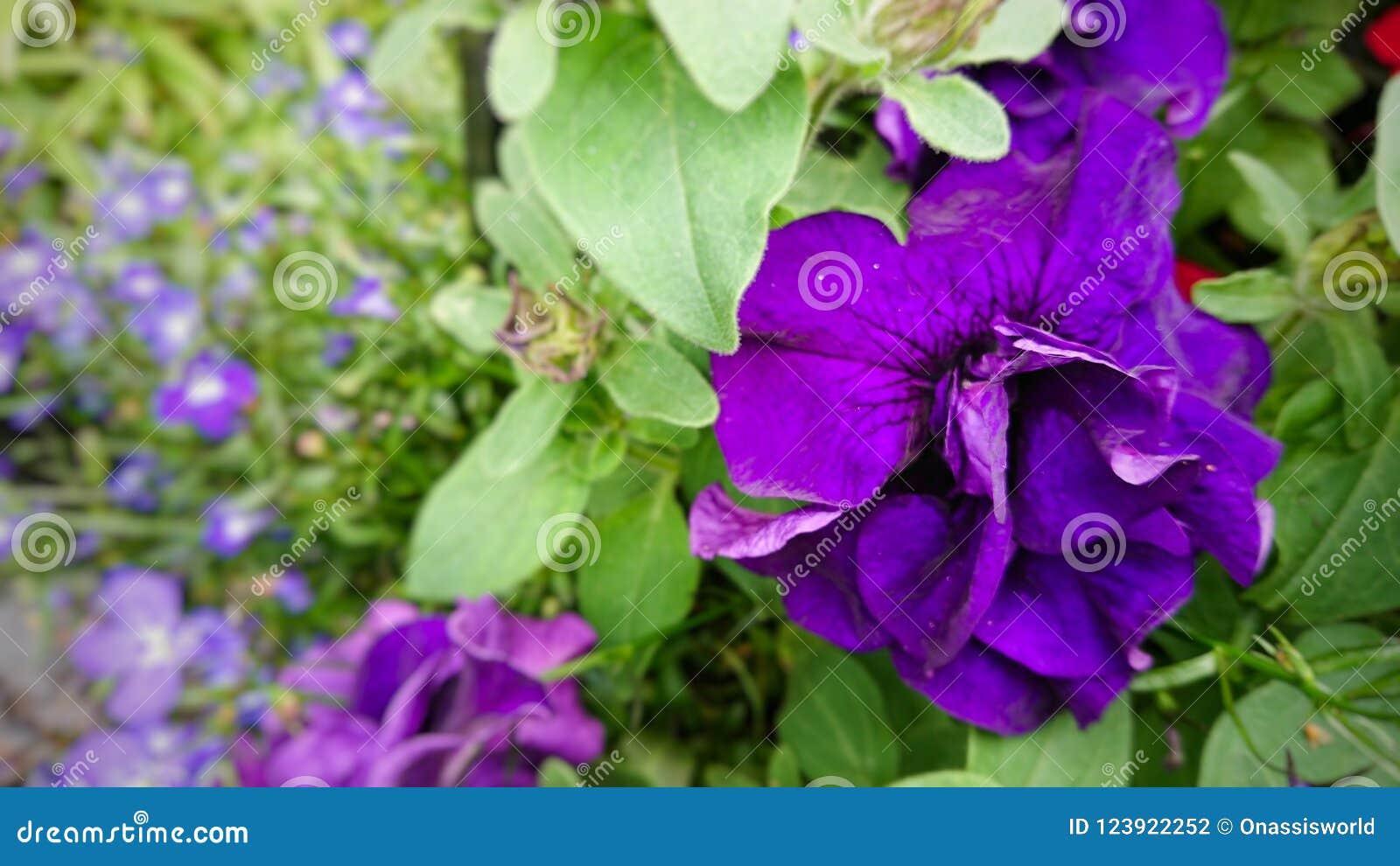Πορφυρά λουλούδια pettle